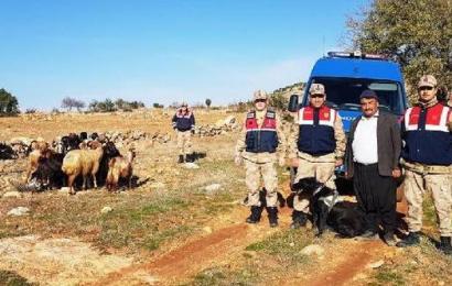 Arazide Bulunan 21 Koyun Sahibine Teslim Edildi
