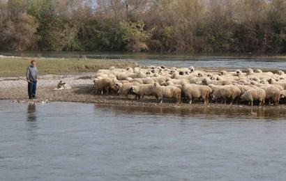 Çoban ile 250 Koyunu Kelkit Çayı'nda Mahsur Kaldı
