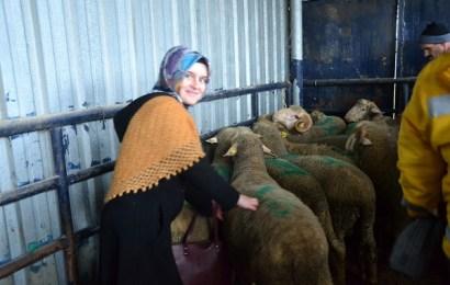 Biga'da Hayvancılığa Talep Arttı