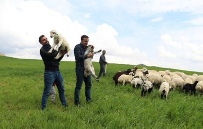 Hafta İçi Mühendis Hafta Sonu Çoban Kardeşler
