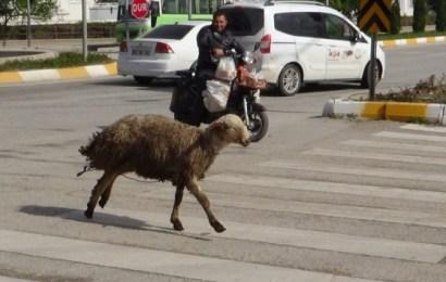 Kaçan Koyun Ortalığı Birbirine Kattı
