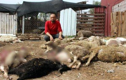 Aç kalan köpekler 45 koyun ve keçiyi telef etti