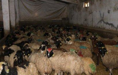 Kurtalan'da Genç Çiftçilere Küçükbaş Hayvan Dağıtıldı