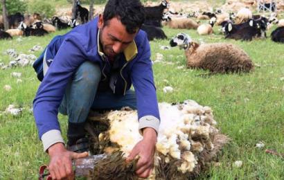 Diyarbakır'da Koyun Kırkma Sezonu Başladı