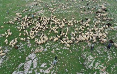 Çoban Değil 'Sürü Yöneticisi'