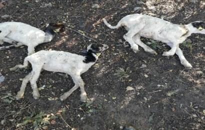 """""""Genç Çiftçi Projesi"""" Kapsamında Dağıtılan Küçükbaş Hayvanlar Vebalı Çıktı"""