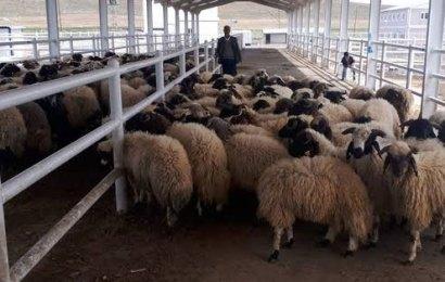 Türkiye Hayvancılıkta İhracatçı Ülke!