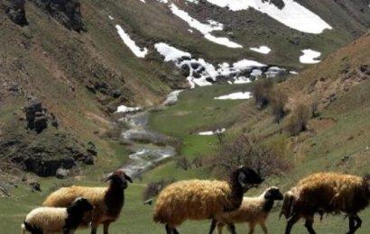 Jandarma çalınan 42 koyunu operasyonla buldu