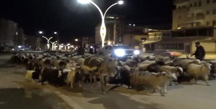 Hakkari sokaklarında koyun sürüsü…