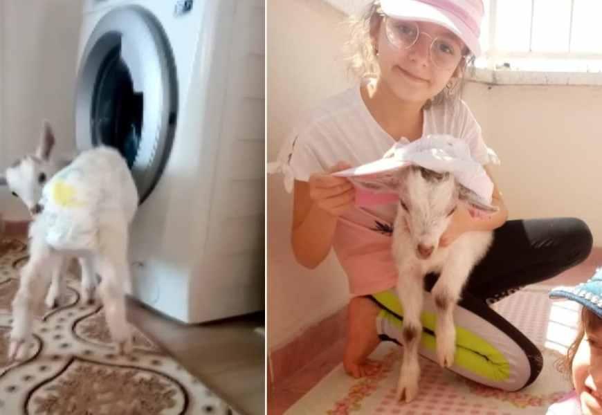 Bebek bezli keçiler apartmanlara taşındı