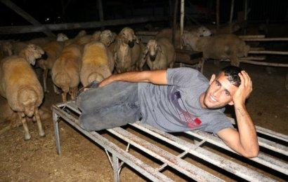 Celepler, koyunlar için koyun koyuna uyuyor