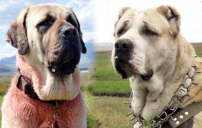 Valilerden köpek atışması… Hangisi Anadolu Aslanı?