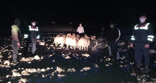Kayıp koyunları jandarma buldu