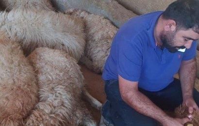 150 koyun, bitki kurbanı oldu!