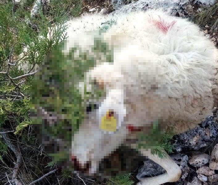 Telef olan koyunlarını gören çoban ağıtlar yaktı