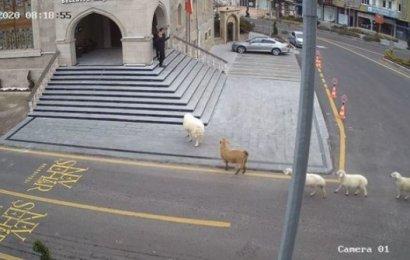 """Adımızı dünyaya, """"Belediyeyi basan koyunlar"""" duyurdu"""