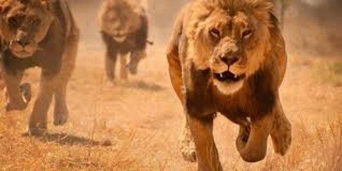 Genç çoban aslan saldırısında hayatını kaybetti