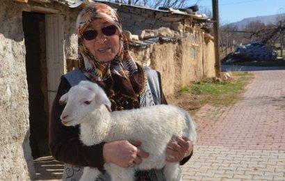 Şehit annesinin koyun ve kuzularını çaldılar