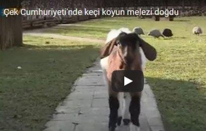 Keçi-koyun melezi doğdu!
