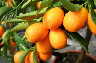 KUMKVAT – veliki izvor vitamina C