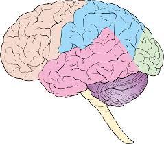 Režnjevi mozga
