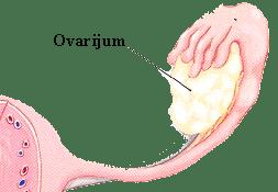 Slika 4. Jajnik ili ovarijum