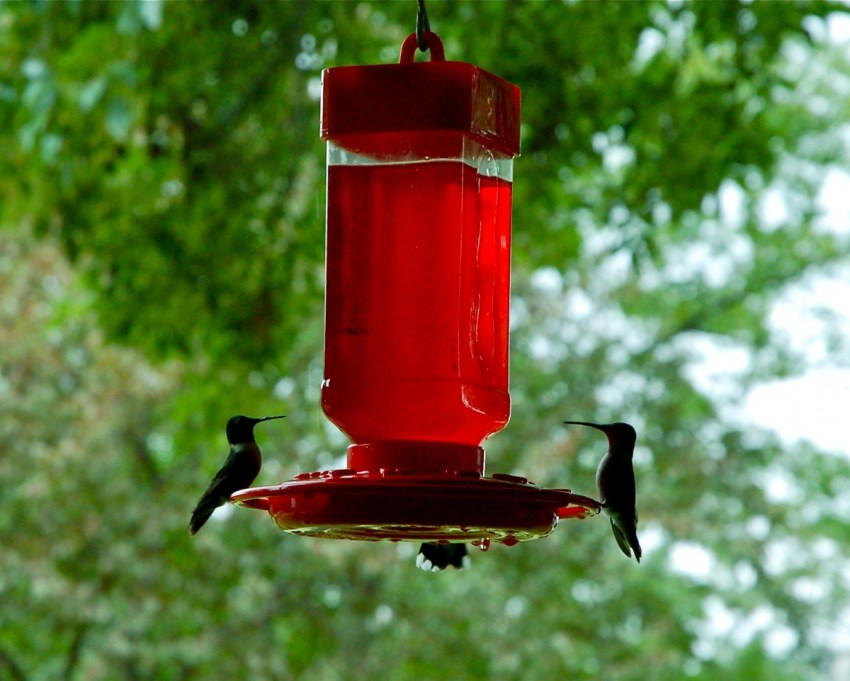 Humming Birds at the feeder by Jacqui Davis