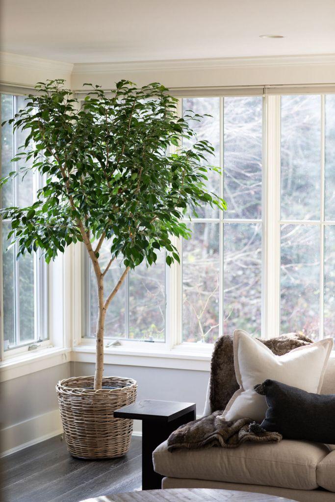 houseplant in corner of mercer island living room