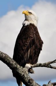 Eagle sitting