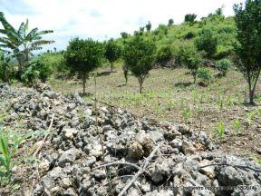 Lahan berbatu di sekitar tanaman jeruk