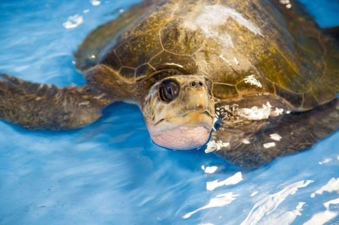 Turkey, an endangered olive ridley sea turtle was cared for at the Oregon Coast Aquarium after being found on the southwest Washington coast. (Photo: Oregon Coast Aquarium)