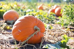 giant-pumpkins-955606_1280