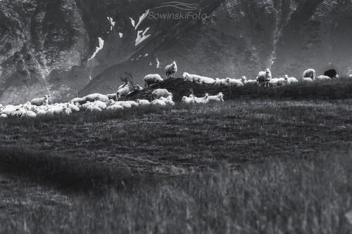 Owce zdjęcie wydruk