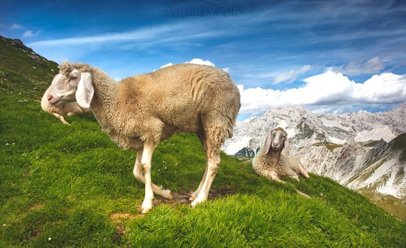 Alpy owca zdjęcie