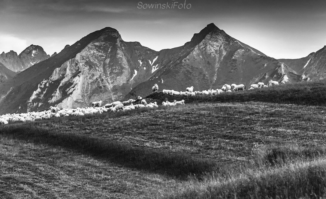 Tatry Bielskie i owce kup zdjęcie