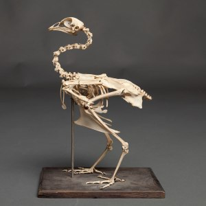 Chicken Skeleton  Kraker Antiek