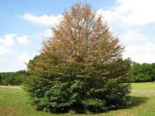 PHC Linden Tree