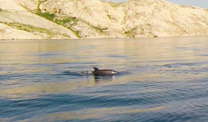 V Chorvatsku můžete delfíny zahlédnout téměř všude.