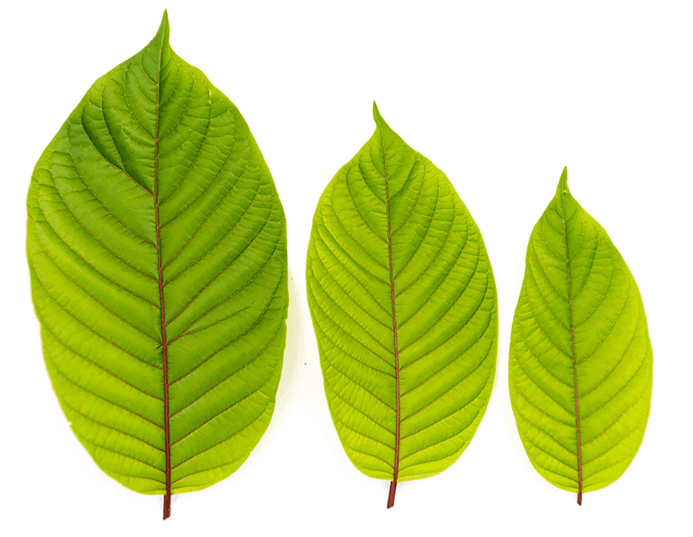 Tres hojas de kratom rojo