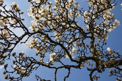 blühender Magnolienzweig vor blauem Himmel