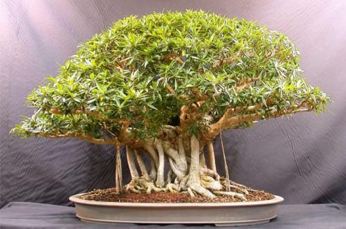 Cara membuat bonsai 4