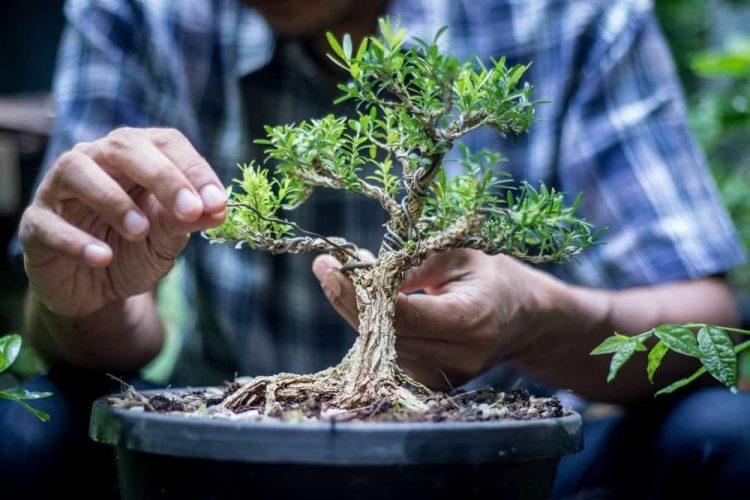memilih jenis bonsai