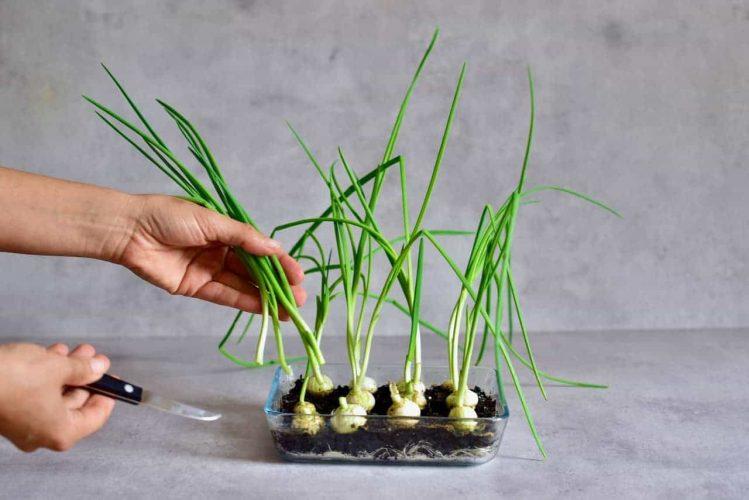 menanam sayuran umbi