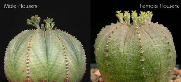 Euphorbia-obesa