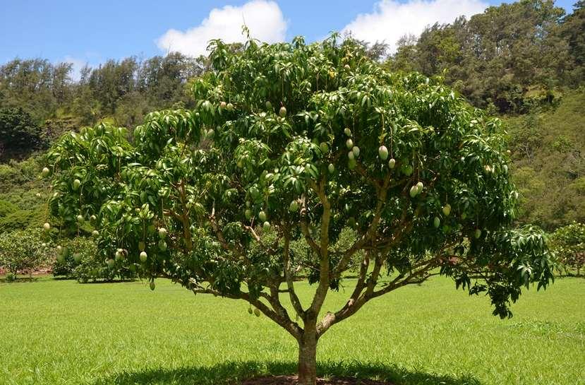 Pohon-Buah-Mangga