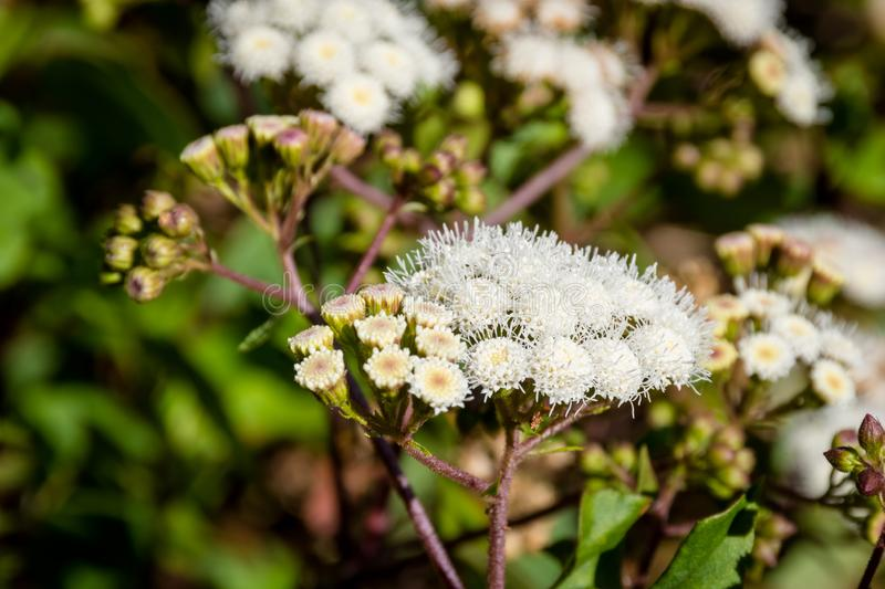 edelweiss-jawa