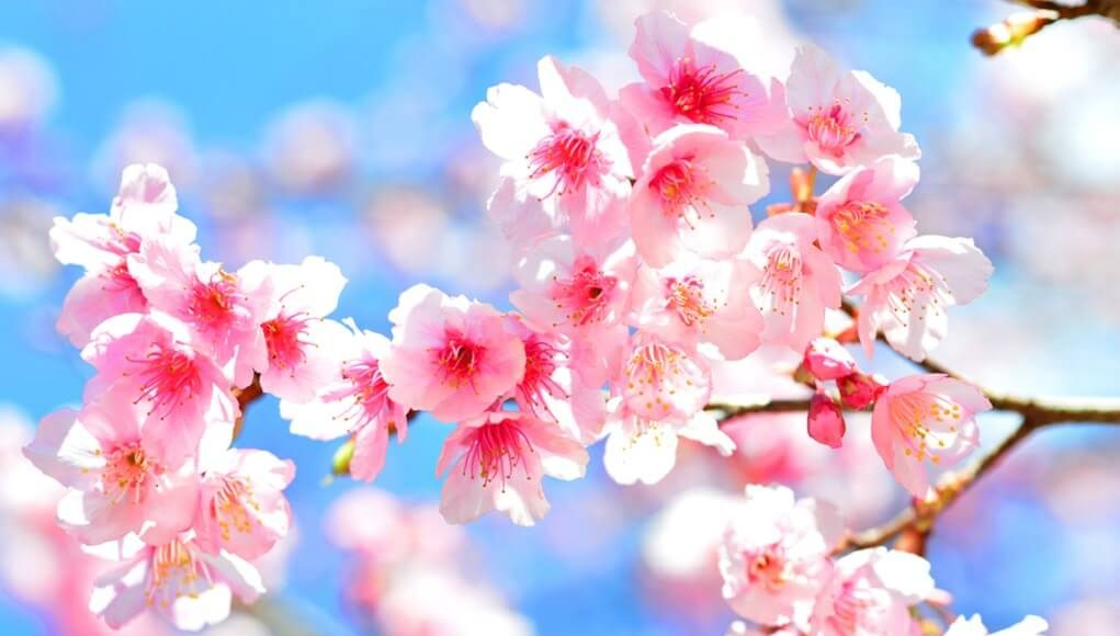pohon-sakura