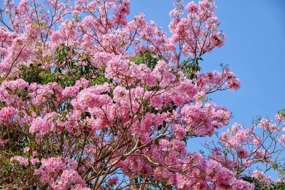 pohon-tabebuya-warna-pink