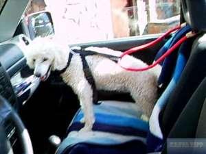 Hund angeschnallt im Auto