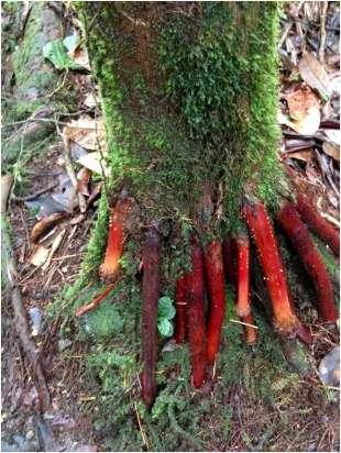 rote-wurzeln